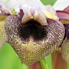 Iris hermona IMG_2426