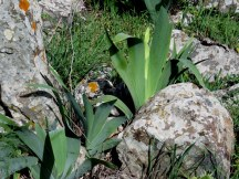 Iris mesopotamica IMG_3243