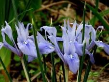 Iris vartanii_IMG_2212-001