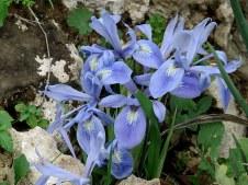 Iris vartanii_IMG_2222-001