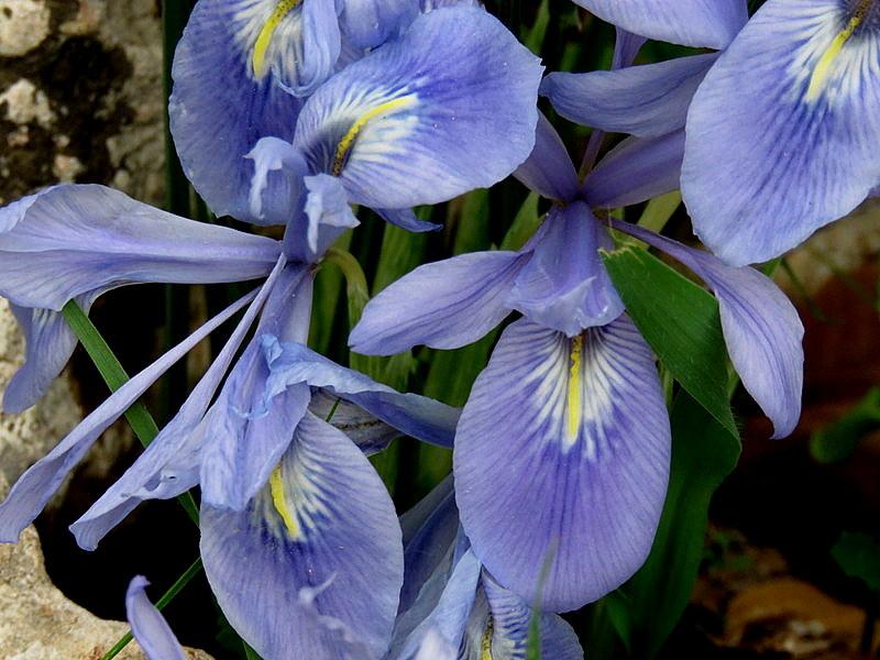 Iris vartanii_IMG_2223-001