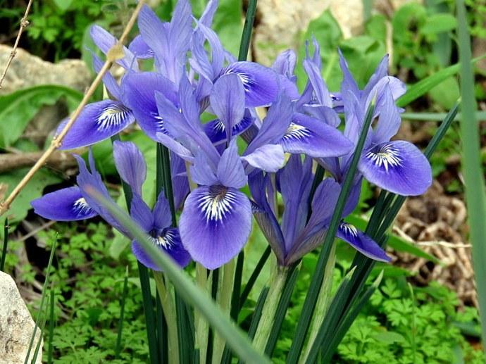 Iris vartanii_IMG_2253-001