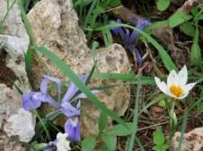 Iris vartanii_IMG_2260