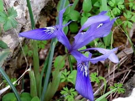 Iris vartanii_IMG_2269-001