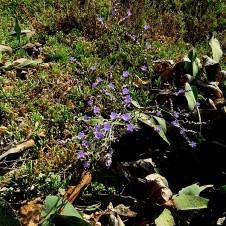 limonium-scoparium_meyeri-img_0905-002