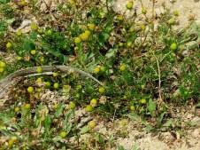 Matricaria aurea IMG_1322-002