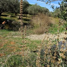 Molucella laevis IMG_2077-001