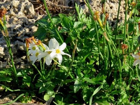 Narcissus serotinus IMG_1852-001