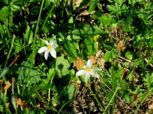 Narcissus serotinus IMG_1860