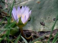 Nymphaea caerulea IMG_2385-001