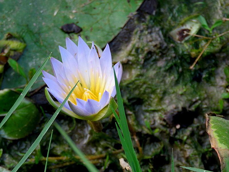 Nymphaea caerulea IMG_2386-001