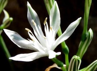 pancratium-vagaria-parviflorum-img_7351-001