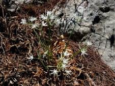 pancratium-vagaria-parviflorum-img_7381-001