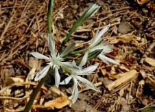 pancratium-vagaria-parviflorum-img_7383-003