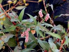 Persicaria senegalensis IMG_2377-001