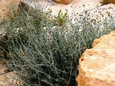 Phagnalon rupestre IMG_1719-002
