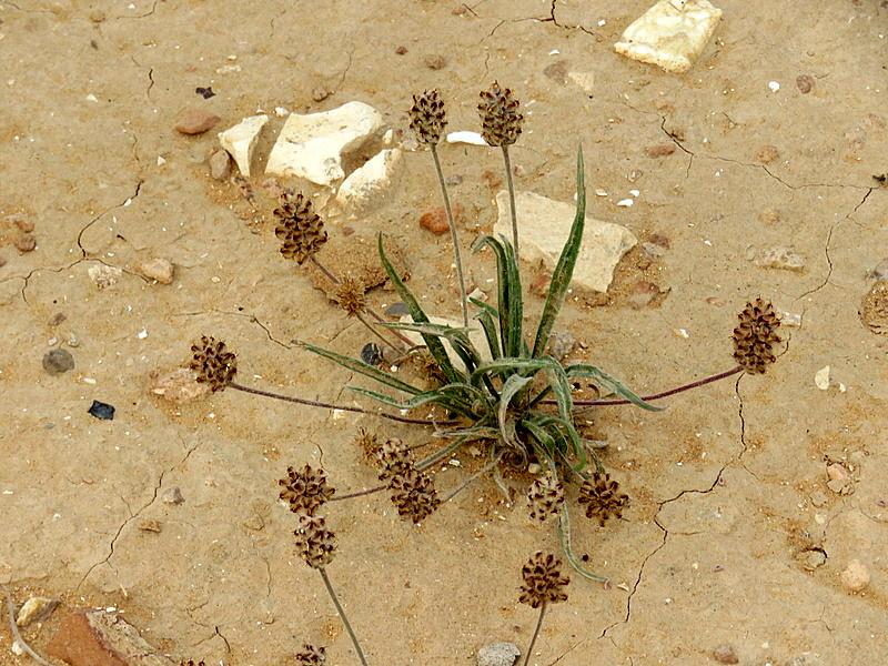 Plantago arenaria IMG_1736-001
