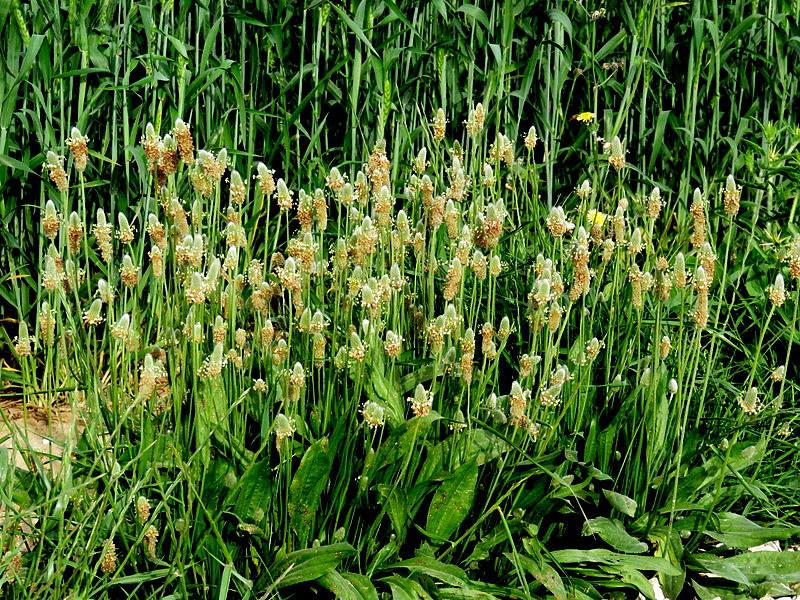Plantago lagopus IMG_0510-001