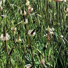 Plantago lanceolata_IMG_8080-002 (2)