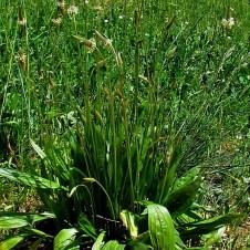 Plantago lanceolata_IMG_8081 (3)