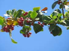 Rhamnus alaternus – Крушина вечнозеленая – אשחר רחב עלים