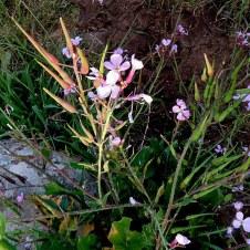 Raphanus rostratum IMG_3499-001