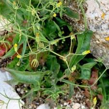 Rhagadiolus stellatus IMG_5851-001