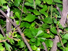 Rhamnus lycioides – Крушина палестинская – אשחר ארצישראלי