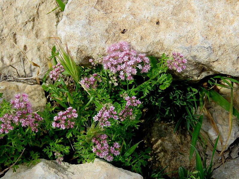 Chaetosciadium trichospermum IMG_7708-001