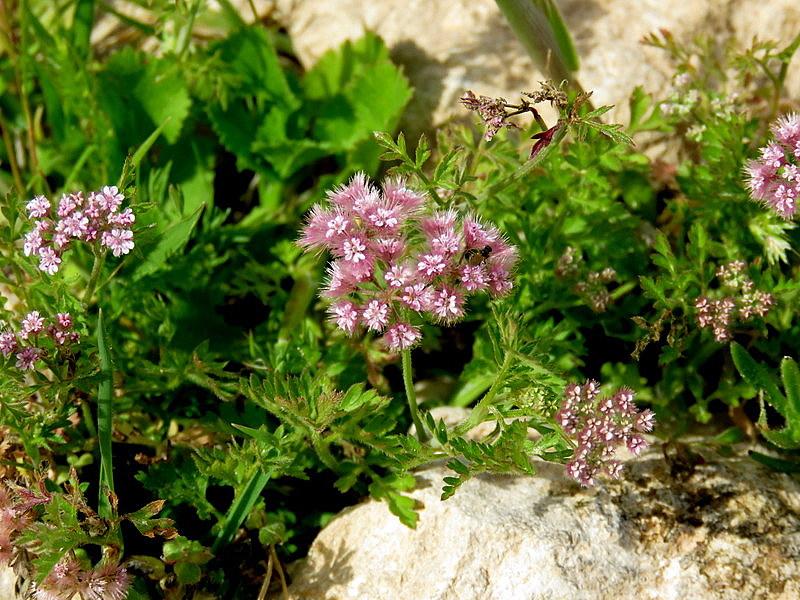 Chaetosciadium trichospermum IMG_7712-001