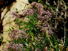 Chaetosciadium trichospermum IMG_9581-001