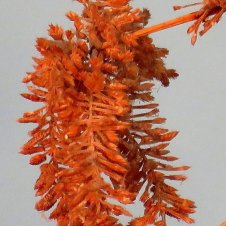 kamysh_scirpus_lacustris-img_0502-003-a