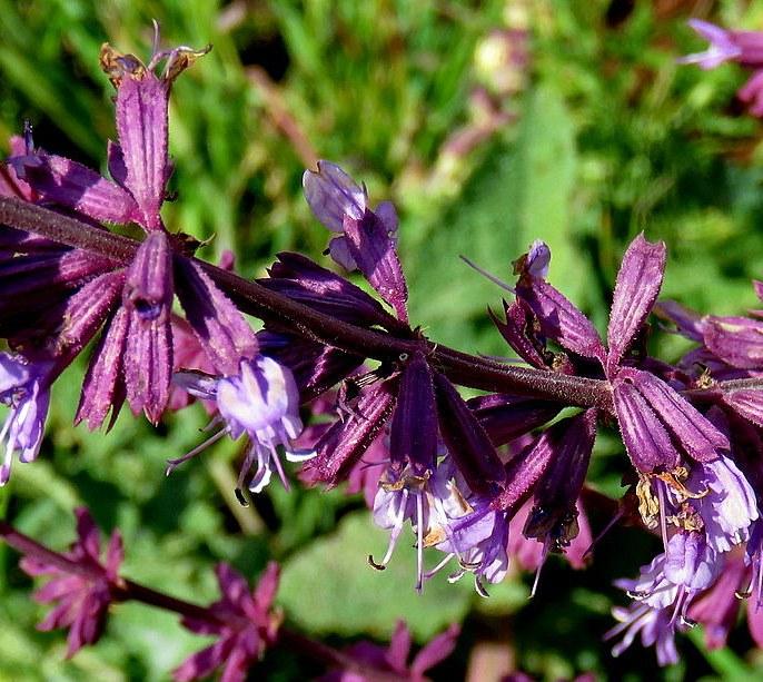 Salvia Judaica IMG_2850-003