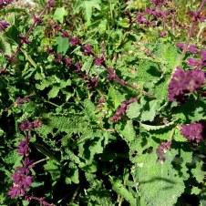 Salvia Judaica IMG_2859-001