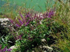 Salvia Judaica IMG_2905-001