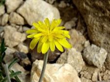 Scorzonera syriaca IMG_7747-001