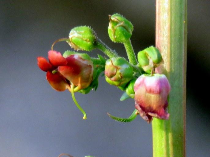 Scrophularia rubricaulis IMG_3543-001