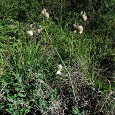 Silene vulgaris IMG_2257