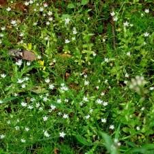 Stellaria pallida IMG_0756-001