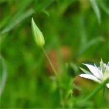 Stellaria pallida IMG_0758 (2)-a