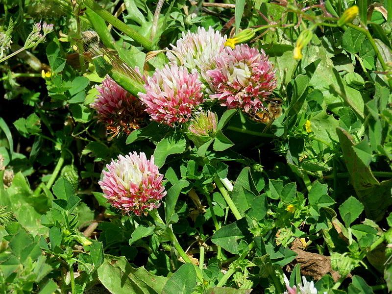 Trifolium argutum IMG_4836-002