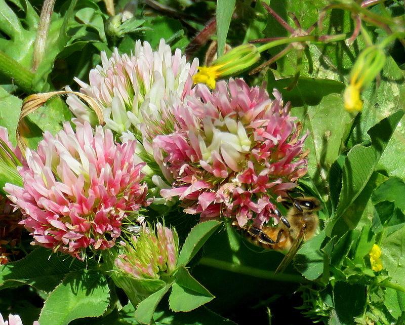 Trifolium argutum IMG_4836-003
