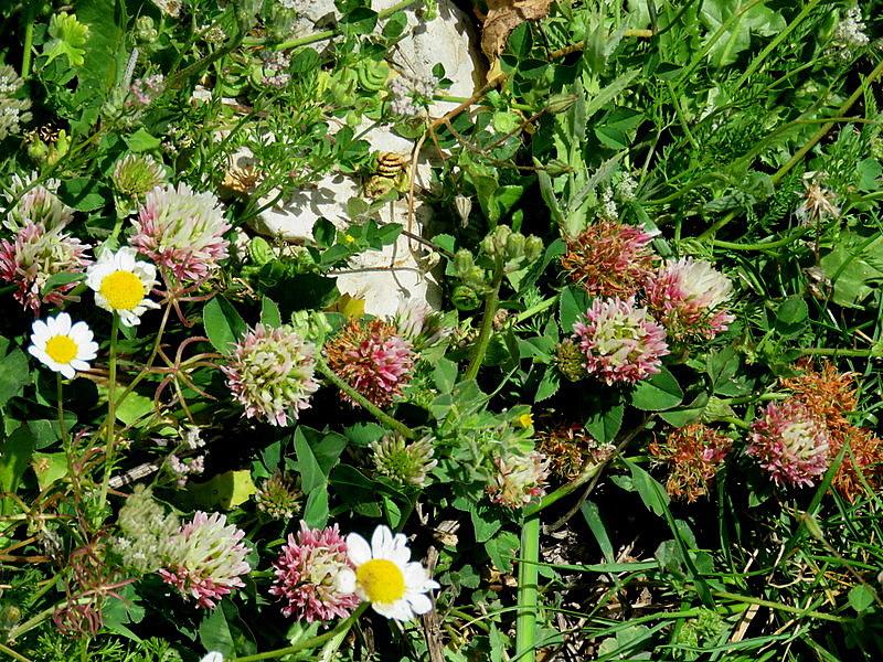 Trifolium argutum IMG_4837-001
