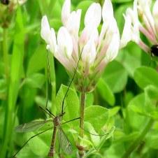 Trifolium clypeatum IMG_0553-003