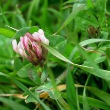 Trifolium echinatum clypeatum IMG_8363-001 (2)