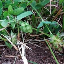 Trifolium echinatum IMG_2761 (3)