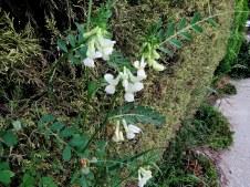 Vicia basaltica IMG_0340-001
