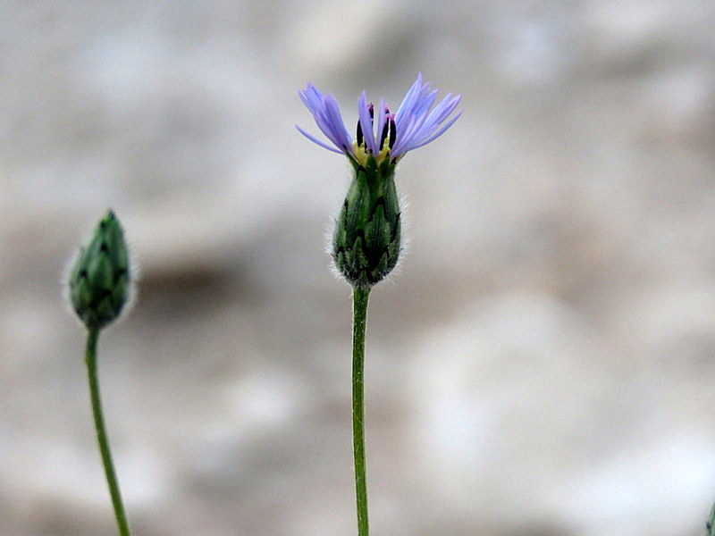Volutaria crupinoides IMG_8235-001