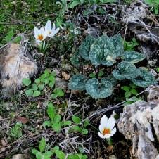 Crocus hyemalis IMG_0788-001