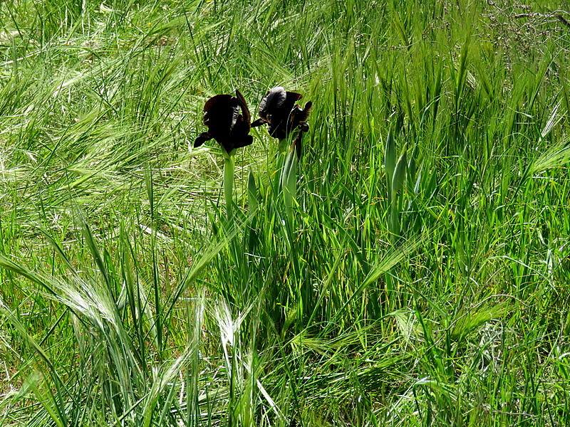 Iris atrofusca IMG_9122-001